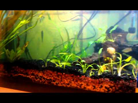 How to treat ich ick in a planted aquarium youtube for Ick in fish tank