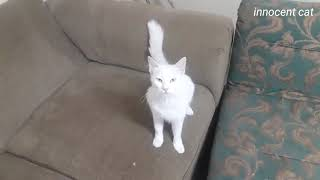 white cat looking for kittens