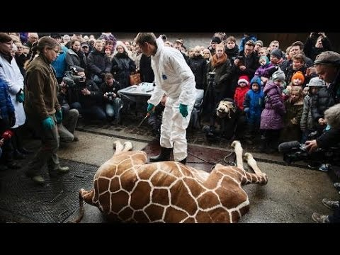 Danish Zoo Feeds Giraffe To Lions?!?