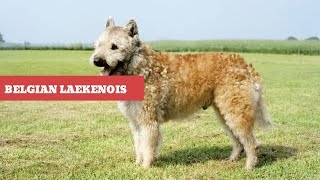 Dogs: Belgian Laekenois Breed Information And Personality