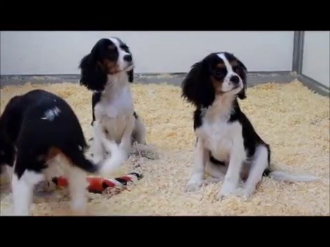 Cavalier King Charles Pups Te Koop Chiots A Vendre Youtube