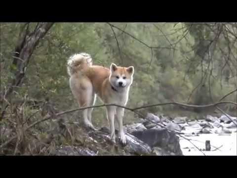 秋田犬 Akita Inu plays and has fun on the river with dog friend