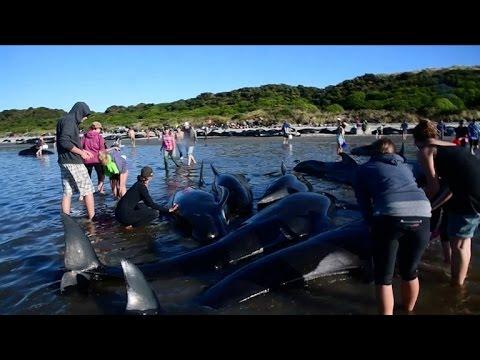 Encallan Unas 200 Ballenas Ms En Nueva Zelanda Pese A Esfuerzos
