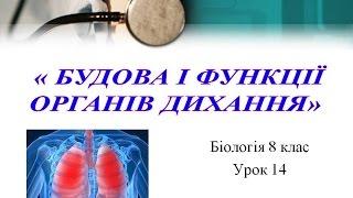 Будова органів дихання людини.