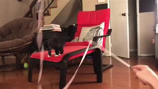Foster kitten loves playing with ribbon