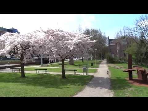 Kersenbloesem In Westerpark Amsterdam