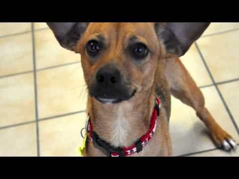 chihuahua rescue wisconsin rusty a chihuahua terrier mix available for adoption at 8652