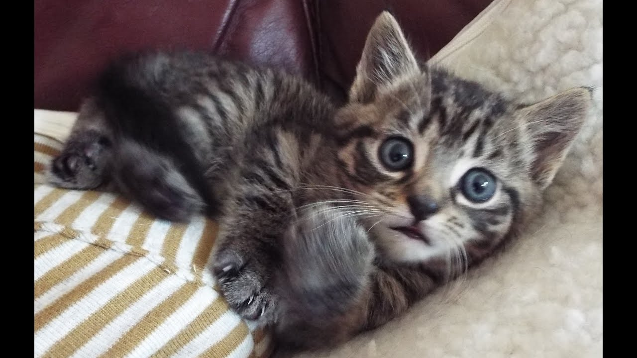 Ragnar (Rags) the Maine Coon Bengal Cross Kitten Having Fun - YouTube