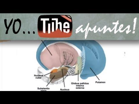Fisiología del sistema nervioso. Motor. Ganglios basales (1) - YouTube