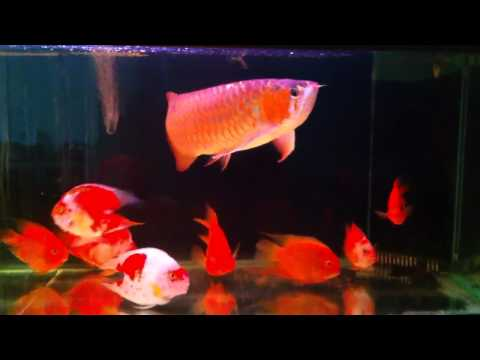 Super red Arowana with red parrot 2