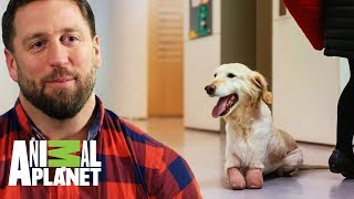 Ayudando a una perrita con sus patas amputadas | The Dodo: En busca de héroes | Animal Planet thumbnail