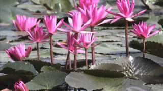 A Water Lily-Jia Peng Fang