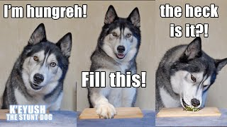 husky-denies-eating-all-the-food-he-reviews-sushi