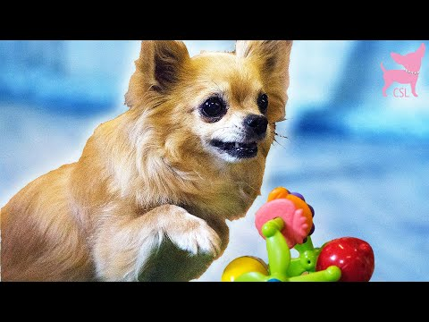 Cute Chihuahua Dog Trick School