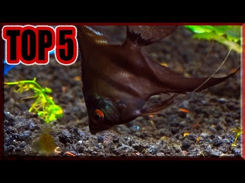 Top 5 Reasons Why You Should Buy A ANGELFISH!