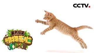 [正大综艺·动物来啦]家猫尾巴像问号一样高高竖起的含义是什么?| CCTV