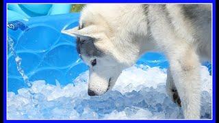 HUSKY ICE POOL PARTY   ICE BATH for the Siberian Huskies