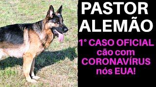 PASTOR ALEMÃO é o primeiro diagnóstico oficial de cão com Covid-19 nos EUA!