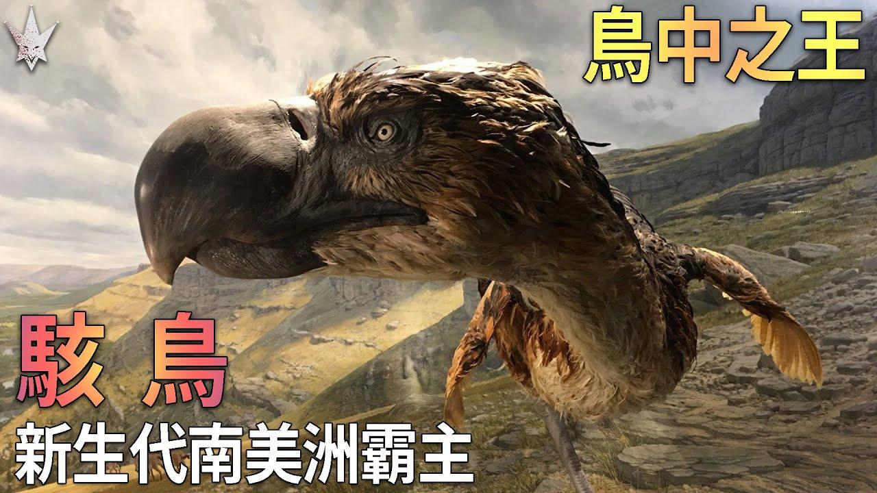 鳥中之王「駭鳥」- 新生代南美洲陸地霸主,恐龍基因的延續血脈,巨鳥王朝的崛起與殞落。