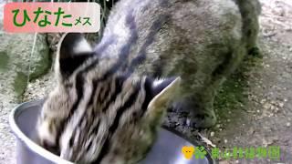 【東山動植物園公式】ツシマヤマネコ 採食風景 ツシマヤマネコ 検索動画 18
