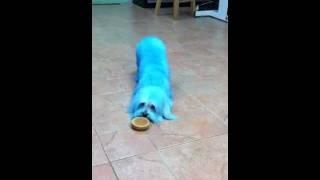 Maltese Cookie Monster.mov