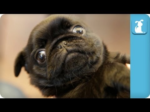 30 Seconds of a Pug Puppy that Winks