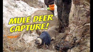 Idaho Fish & Game Mule Deer Capture // Kryptek