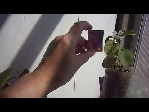 Аленький цветок или АЙВА как альтернатива комнатным цитрусам