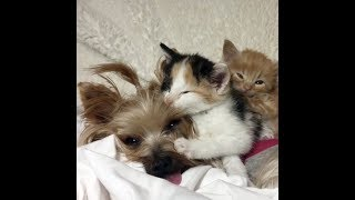 Orphaned Kittens Gravitate to Therapy Dog and Think She's Their Mom