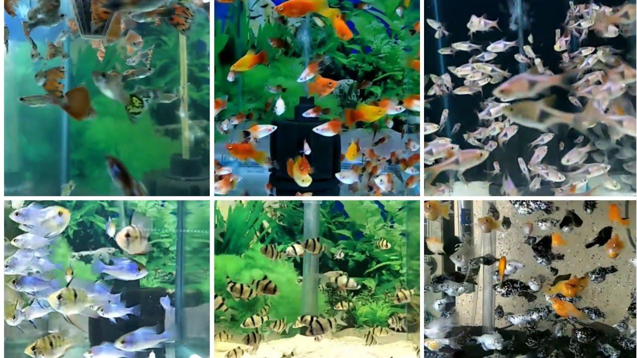 Jenis Jenis Ikan Aquascape