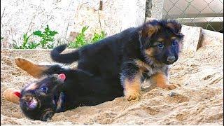 Продаются щенки от Дольфа и Геры. Длинношерстные немецкие овчарки. For sale! Puppies!