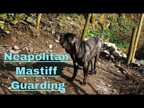 Junior The Neapolitan Mastiff On Guard