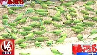 Birds Lover Feeds 800 Parrots Every Day In Visakhapatnam   Teenmaar News