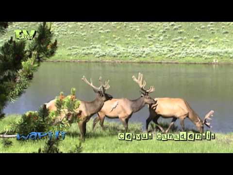Wapiti in Yellowstone National Park - elk - cervus canadensis #06