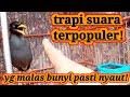 Pancingan Jalak Kebo Macet Malas Bunyi  Mp3 - Mp4 Download