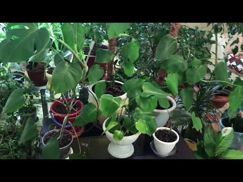 Домашние растения. Монстера Деликатесная.