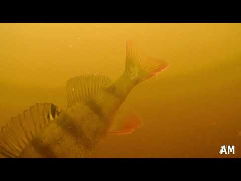 River Barrow - Perch Fishing 2019