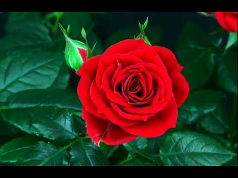 ดอกกุหลาบบาน.FLV
