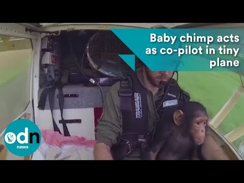 Baby chimp acts as co-pilot in tiny plane