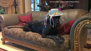 Attempting To Get  Funny Great Danes Dressed For Easter Photo thumbnail