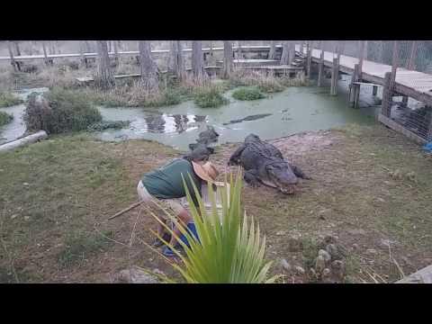 Alligator ally alabama 2017