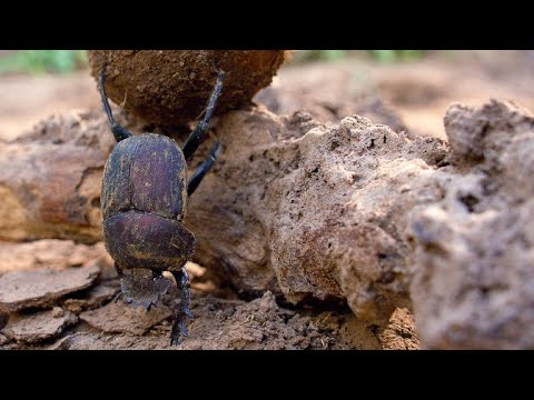 African Dung Beetle: Is This African Insect the Strongest in the World?