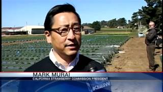 Watsonville farmers attempting to grow strawberries without soil