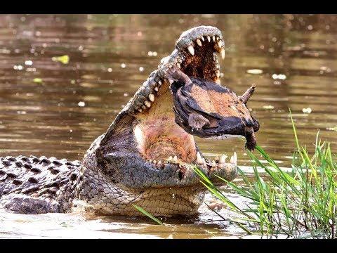 крокодил атака черепаха, какой сюрприз мир животных, Лев, боров, лошадь зебры