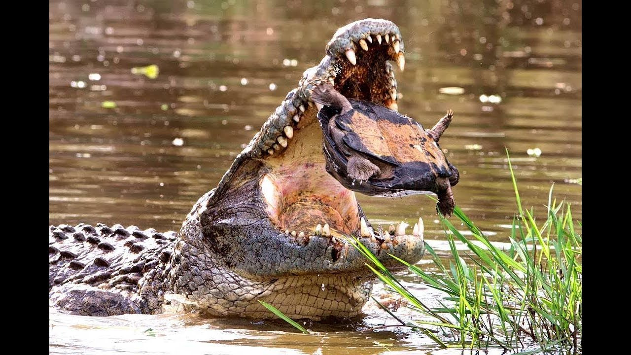 крокодил атака черепаха, какой сюрприз - мир животных, Лев, боров, лошадь зебры