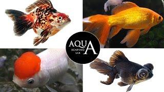 Aquascaping Lab - Carassius Auratus Shubunkin Ryukin Sarasa Pearlscale Black Moor Technical sheet