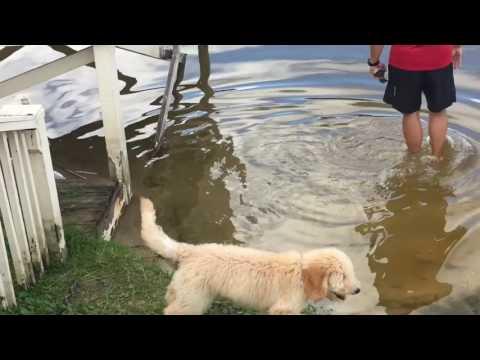 Goldendoodle Retriever Training III