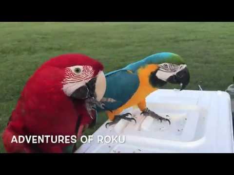 Pet Parrot Mania