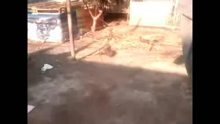 Simulasi hunting crested goshawk