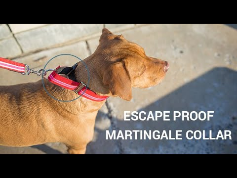Martingale Dog Collar Collar – How to measure, fit, and use martingale dog collars for leash walking